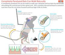 Швейцарские ученые заставили бежать полностью парализованную крысу с помощью одних лишь электрических сигналов.