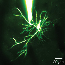 Neuroscientists discover new 'mini-neural computer' in the brain